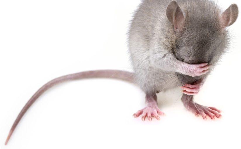 Szczur w piwnicy, potrzebna pomoc.Gdzie należy jej szukać?
